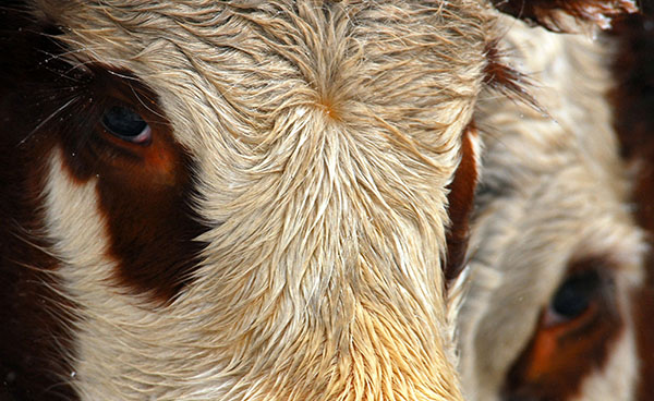 Rise in cases of rabies in cattle seen in Russia