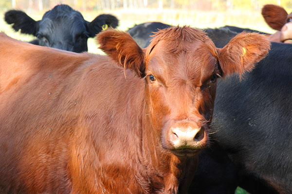 The pedigree livestock farming market will be developed in the countries of the Eurasian Economic Union