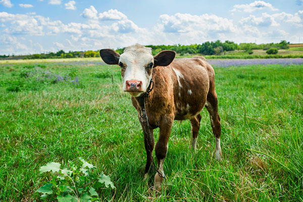 Численность КРС на 1 июля 2020 года в сельскохозяйственных организациях уменьшилась на 0,7% по сравнению с годом ранее.